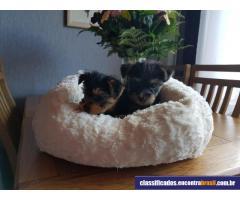 Filhotes de Yorkie grátis para adoção - Cachorros