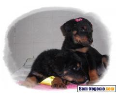 Filhotes de Rottweiler Porte Europeu cabeça de Touro