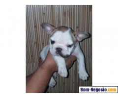 Bulldog Francês *legìtimo* 2.100 Reais