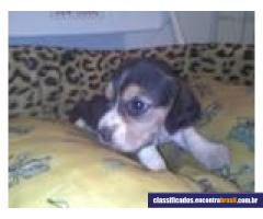 Lindos Filhotes lhasa apso, beagle, maltes