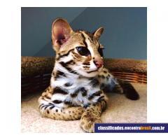 Vendo gatinhos F1, F2 Savannah e Serval, Caracal e gatinhos Ocelot