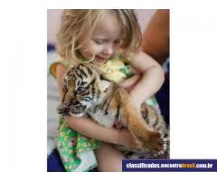Adoráveis filhotes da chita e do tigre