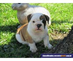 adorável Inglês bulldog cachorros para adoção !!!!