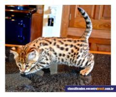 Gatos: Disponível F1, savana F2 e Serval, Caracal e gatinhos Ocelot